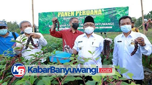 Sukses Budidaya Gingseng Merah, Wabup Banyuwangi Panen Perdana