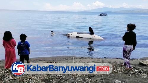 Paus Pembunuh Jenis Orca Mati Terdampar di Pantai Bangsring